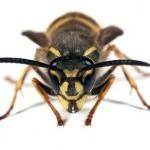 Wasp - Vespula vulgaris
