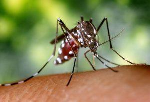 Female Aedes Mosquito