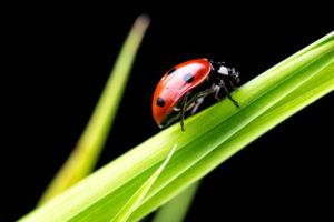 29591780 - beautiful ladybug on green grass blade. isolated over black background.