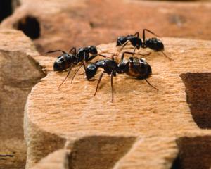 06_carpenter-ants