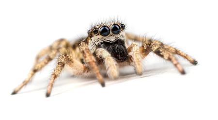 24183849 - zebra jumping spider - salticus scenicus